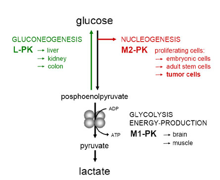 glycolysis isoenzyme equipmentpyruvate kinase